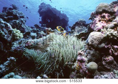 Clownfish Reef