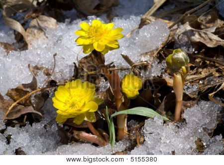 Flowers Among Snow