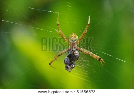 garden spider is catching a prey