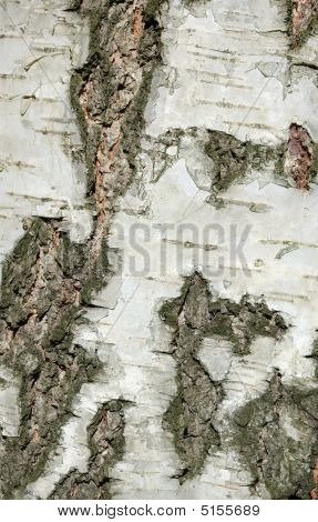 Bark Of Birch