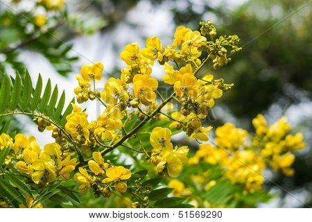 Cassod Tree, Cassia Siamea Or Siamese Senna