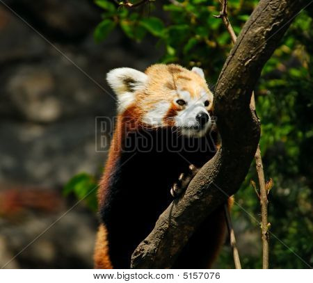 Red Panda Climbing In A Tree