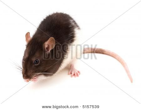 Cute Brown Rat Or Mouse Eating Food