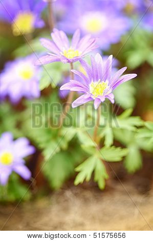 A Blooming Flower - Anemone Blanda, Blue Shades