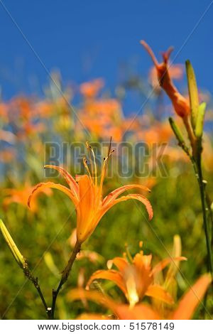 Tiger lily (Daylily) flower close-up