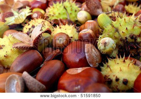 Closeup Of Horse Chestnuts, Acorns, Beechnuts And Cobnuts In Autumn Colors
