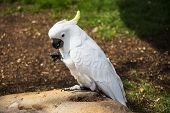 picture of cockatoos  - Umbrella Crested Cockatoo Perched on a Rock - JPG