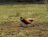 picture of game-cock  - Male or Cock Common Pheasant in countryside - JPG
