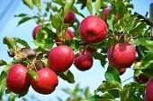 stock photo of cluster  - Ripe apples on the tree - JPG