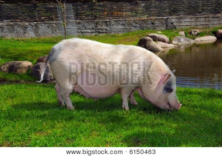 Cute Pig Outdoors In Summer