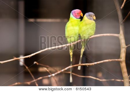 Pair Of Plum-headed Parakeets