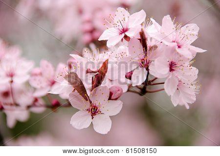 Fully Blossomed Fresh Cherry Branch