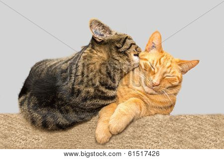 One cat grooming another cat.