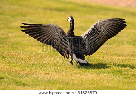 Barnacle Goose Spreading Its Wings