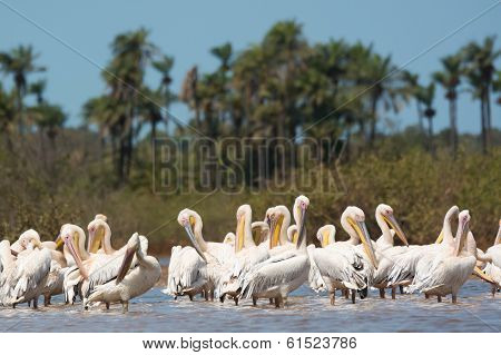 Group Of Great White Pelicans Standing In Water Preening
