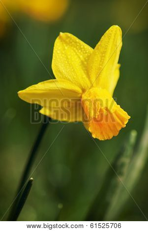 Yellow Daffodil After Rain Shower