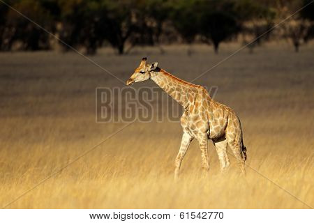 Giraffe (Giraffa camelopardalis) in open grassland, South Africa