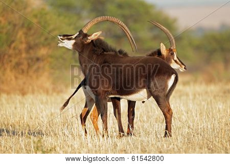 Pair of sable antelopes (Hippotragus niger), South Africa