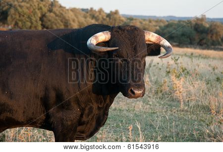 Fighting Bull Portrait. Breeding