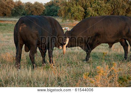 Bulls Clashing