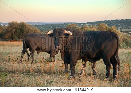 Several Fighting Bulls At Sunset