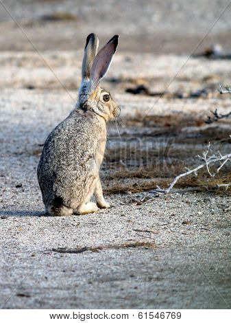 Black-tailed Jackrabbit Upright