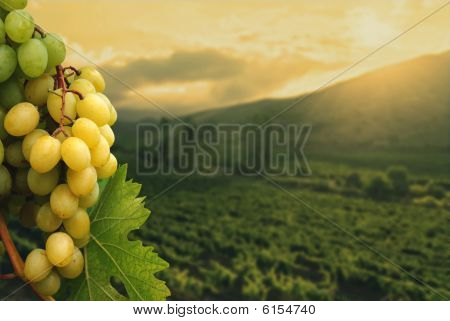 Grapes and vineyard.