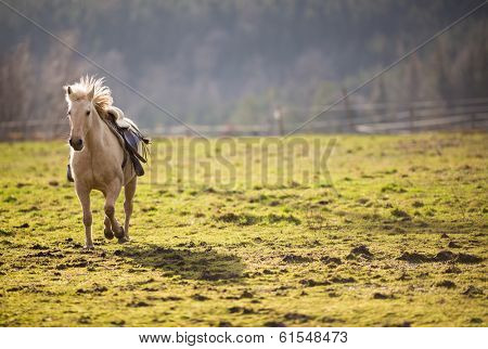 Beautiful, saddled horse galloping towards you