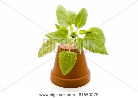 Green Sheets with Clay Pot on white background