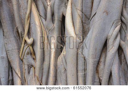 A Banyan Tree Trunk