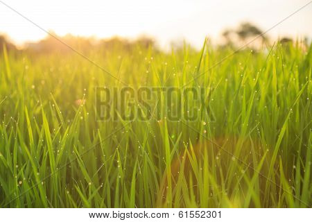 Organic Rice Field With Dew Drops poster