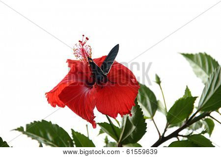 An insect collecting pollen on a hibiscus on white background.