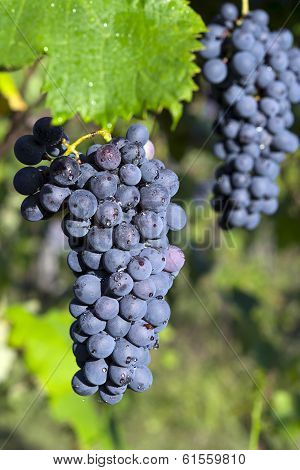 Vineyard grape cluster. Barbera
