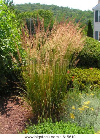 Graceful Ornamental Grass