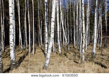 Britch tree