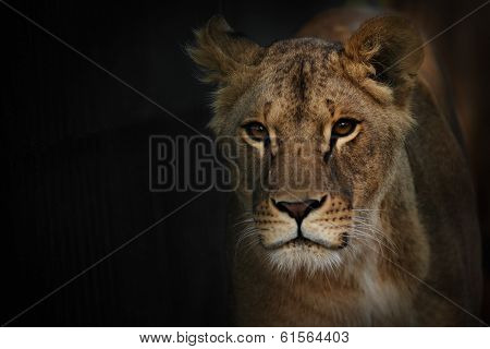 close up Lion over darkness