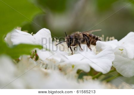 Apple tree flower and bee closeup