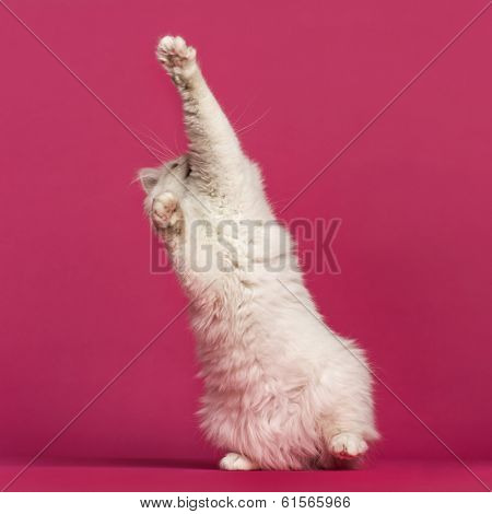 Front view of a Birman cat playing, pawing up, on pink background