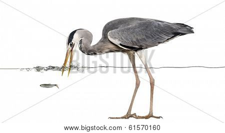 Side view of a Grey Heron fishing at the surface of the water, Ardea cinerea, isolated on white