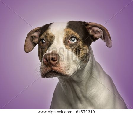 Close-up of a odd-eyed crossbreed dog looking away, on purple background
