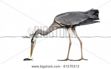 Side view of a Grey Heron fishing, head under water, Ardea cinerea, isolated on white