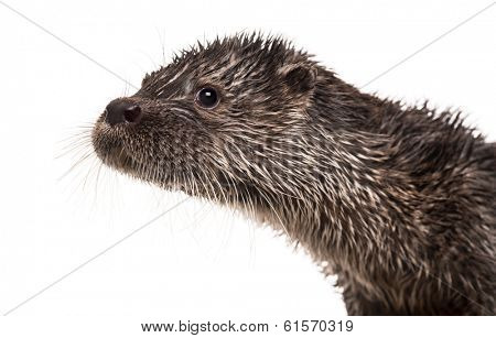 Close-up of an European otter, Lutra lutra, isolated on white