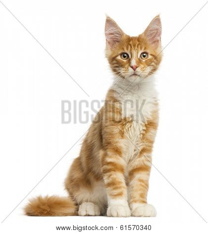 Maine Coon kitten, sitting, facing, 4 months old, isolated on white