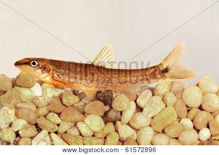 Longnose Dace (rhinichthys Cataractae)