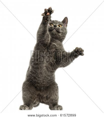 Front view of a Chartreux kitten on hind legs, pawing up, 6 months old, isolated on white