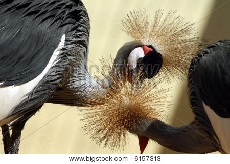 African Crowned Crane, Couple