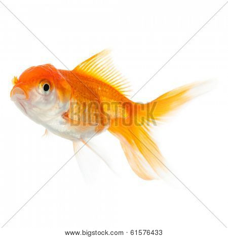 Close up of swimming goldfish, isolated on white. Concept of wish fulfilment and natural beauty