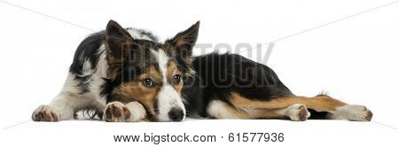 Border collie lying, looking bored, isolated on white
