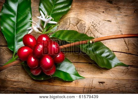 Coffee Plant. Red coffee beans and flower on a branch of coffee tree. Branch of a coffee tree with ripe fruits, flowers and leaves over wooden background