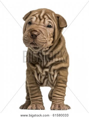 Front view of a Shar Pei puppy standing, isolated on white